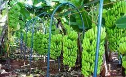 Cutrale e Safra confirmam compra da americana Chiquita, maior produtora de bananas do mundo