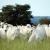 'Gangue da vaca' mata gado no pasto para furtar e vender carne em SP