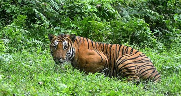 (FILES) In this file photo taken on December 21, 2014 an Indian Bengal tiger looks on in a forest clearing in Kaziranga National Park, some 280km east of Guwahati in northeast India. - Controversy erupted November 3, 2018 over the killing of a man-eating tiger in India that had claimed 13 victims in two years but may have been illegally killed herself. (Photo by - / AFP)